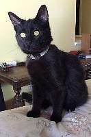 """Young Male Cat - Domestic Short Hair: """"Spencer"""""""