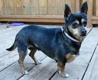 """Adult Female Dog - Dachshund-Chihuahua: """"Buttons"""""""