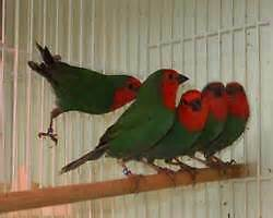 FINCHES FOR SALE Moama Murray Area Preview