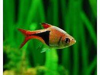 HARLEQUIN RASBORA TRIGONOSTIGMA HETEROMORPHA LIVE TROPICAL TETRA FISH