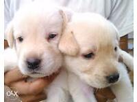 Labrador Pups for Sale Newry