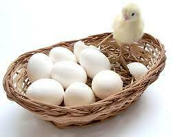 Fertile Eggs - Mixed Heritage Breeds X Araucana Rooster Bedfordale Armadale Area Preview