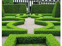 Buxus Sempervirens only £1 Each evergreen garden plants topairy hedging hedges shurb display bush