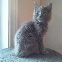 "Baby Female Cat - Domestic Medium Hair: ""Fiona"""