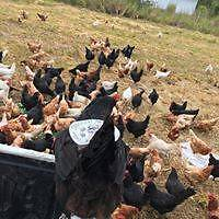 Free Range Pastured Egg Business for Sale Port Macquarie City Preview