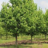 TREES FOR SALE (Red Maple, Sugar Maple, Red-Oak, Burr-Oak, White Spruce, White Pine, Scotch Pine)