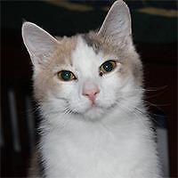 """Young Female Cat - Domestic Medium Hair: """"Hera"""""""