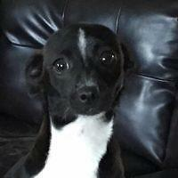 """Young Female Dog - Chihuahua: """"Luci"""""""