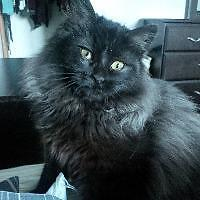 "Baby Female Cat - Domestic Long Hair: ""Layla"""