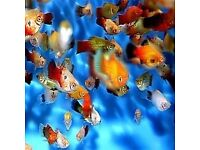"Tropical Bargain Packs of fish! *Super Value"" Live Tropical fish"