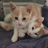 """Baby Male Cat - Domestic Short Hair: """"Bodie and Brody"""""""
