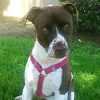 """Young Female Dog - Pointer-Pit Bull Terrier: """"Sophie"""""""