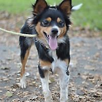 """Young Male Dog - Papillon-Chihuahua: """"Buster"""""""