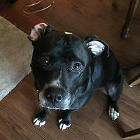 "Adult Male Dog - Pit Bull Terrier-Labrador Retriever: ""Bruno"""