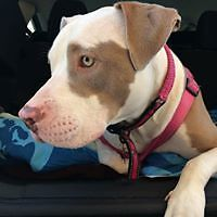 "Adult Female Dog - American Bulldog-Pit Bull Terrier: ""Athena"""