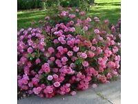 Pink fragrant rose bush