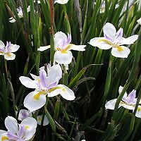 tough plants Dietes Ipswich Ipswich City Preview