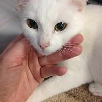 Baby Male  - Domestic Short Hair-white