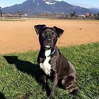 "Adult Male Dog - Pit Bull Terrier: ""Maverick"""