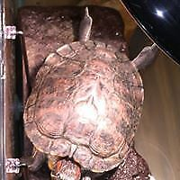 """Adult Female Scales, Fins & Other - Red-Eared Slider: """"Sunshine"""""""