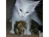 white maine coon boy nearly ready to go TICA registered