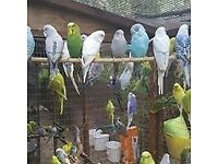 budgies 7.50 each