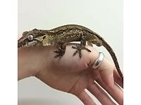 male gargoyle gecko 50 pounds and juvenile crested geckos 30 pounds