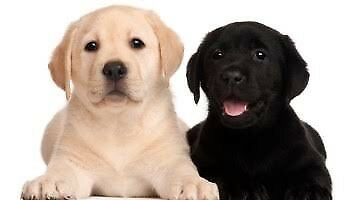 Wanted: WANTED- A Border Collie or Labrador Retriever puppy