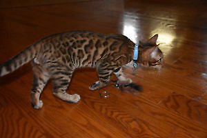 500.00 REWARD LOST YOUNG MALE BENGAL ROSETTE NEUTERED London Ontario image 3