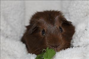 """Baby Male Small & Furry - Guinea Pig: """"Jeff"""""""