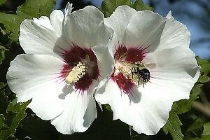 Rose of Sharon trees available in October approx.  5ft tall
