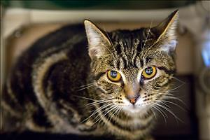 """Young Female Cat - Domestic Short Hair: """"Sue"""""""