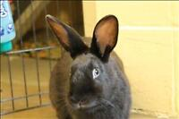 "Young Female Rabbit - Rex-New Zealand: ""Betty"""