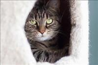 """Adult Female Cat - Domestic Short Hair: """"Tequila"""""""