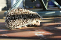 Hedgehog for sale - Very gentle, tame and cuddly