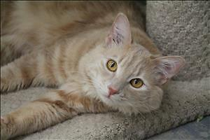 """Young Male Cat - Domestic Medium Hair: """"Clancy"""""""