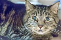 """Adult Male Cat - Domestic Short Hair: """"Gizmo"""""""