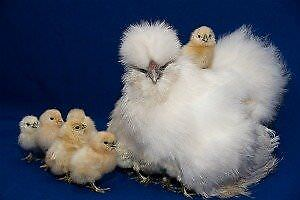 looking for fertile silkie chicken eggs or quail