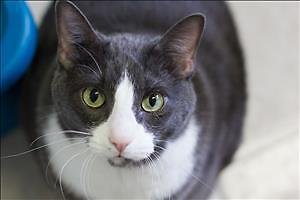 "Senior Male Cat - Domestic Short Hair: ""Pongo"""