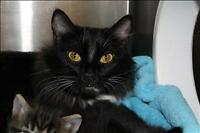 "Adult Female Cat - Domestic Medium Hair: ""Elsa"""