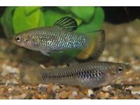 Sparkling limia and Endler guppy