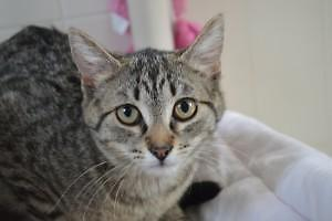 "Young Female Cat - Domestic Short Hair: ""Kealey"""