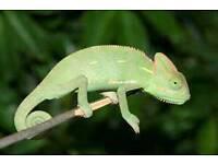 Female Chameleon For sale