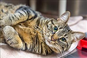 "Adult Female Cat - Domestic Short Hair: ""Charlotte"""
