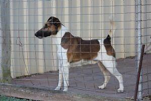 Tan and white smooth fox terrier dog Rockhampton Rockhampton City Preview