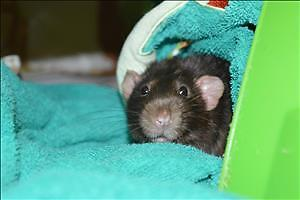 """Young Male Small & Furry - Rat-Rat: """"Winston"""""""