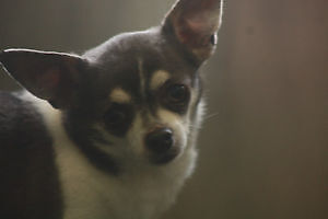 SWEET LITTLE HARLEY IS LOOKING FOR HIS NEW HOME