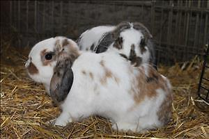 "Adult Male Rabbit - Holland Lop: ""Buggs"""