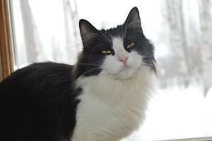 """Young Female Cat - Domestic Medium Hair-black and white: """"Klea"""""""