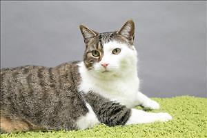 "Adult Male Cat - Domestic Short Hair: ""Quinn"""